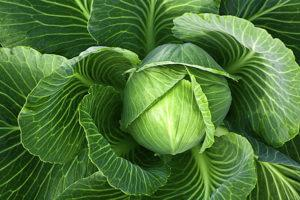 Описание лучших сортов ранней капусты, выращивание и уход в открытом грунте