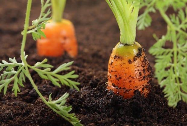 рядка моркови