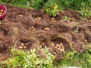 Как посадить, выращивать и ухаживать за картофелем под соломой пошагово