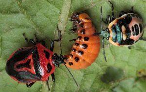 Кто может есть колорадского жука, насекомые и птицы, как приучить кур клевать вредителя