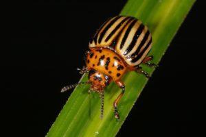 Описание колорадского жука, 20 химических и народных средств для борьбы