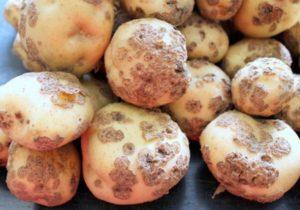 Описание и виды картофельной парши, эффективные меры борьбы с ризоктониозом