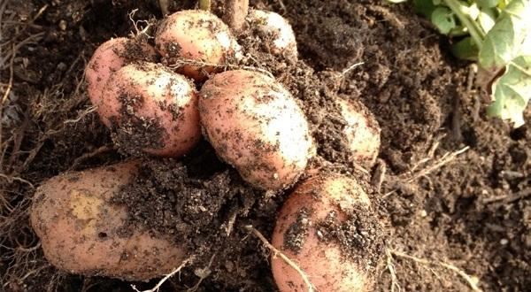 парша картошки