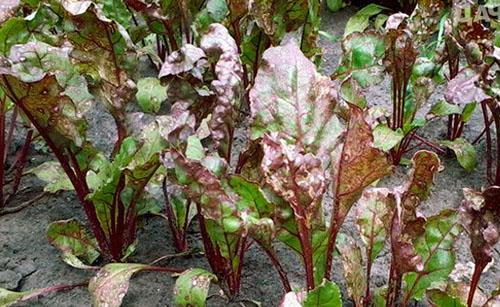 листья свеклы болеют