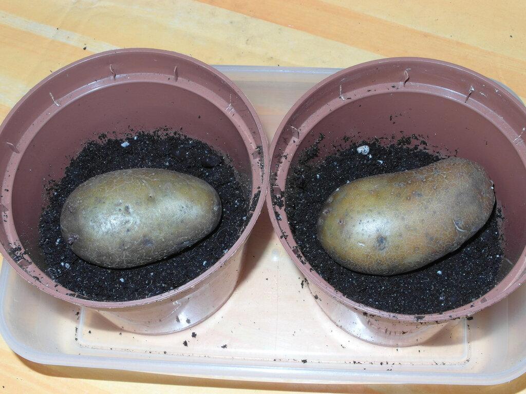 картошка в горшках