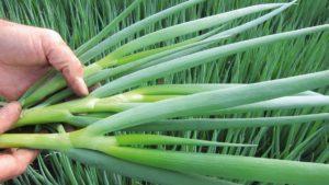 Описание сортов лука батуна, посадка, выращивание и уход в открытом грунте