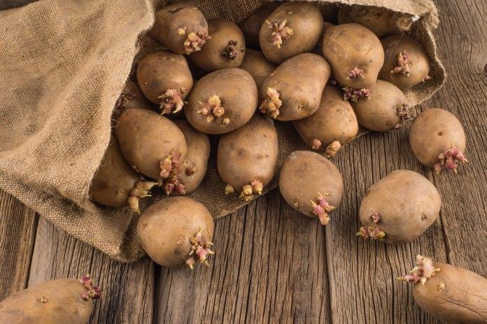 пророщенная картошка в мешке