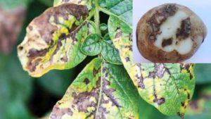 Описание и причины альтернариоза картофеля, меры борьбы и методы лечения