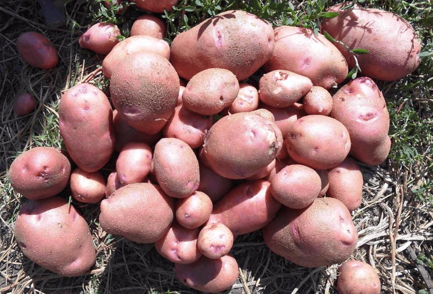 куча картошки