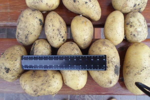 картофель коломбо