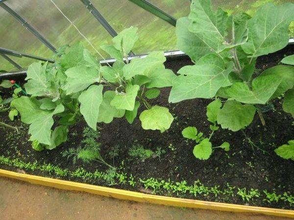 ростки баклажан