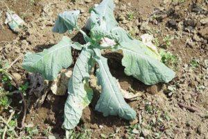 Болезни и вредители капусты белокочанной и методы борьбы с ними