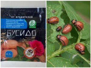 Инструкция по применению «Бусидо» от колорадского жука, правила обработки