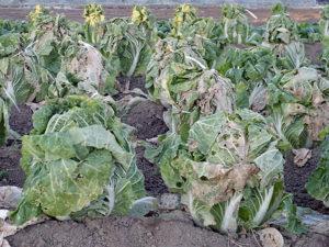 Чем лучше обработать пекинскую капусту для борьбы с вредителями и болезнями