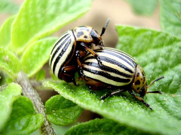 апачи от колорадского жука