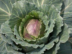 Почему у капусты фиолетовые листья и что делать для лечения