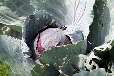 фиолетовые листья у капусты