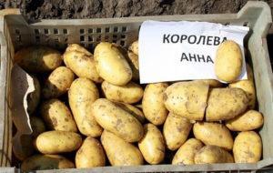 Характеристики и описание картофеля сорта Королева Анна, посадка и уход