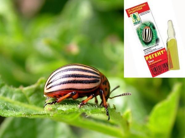 регент от жука