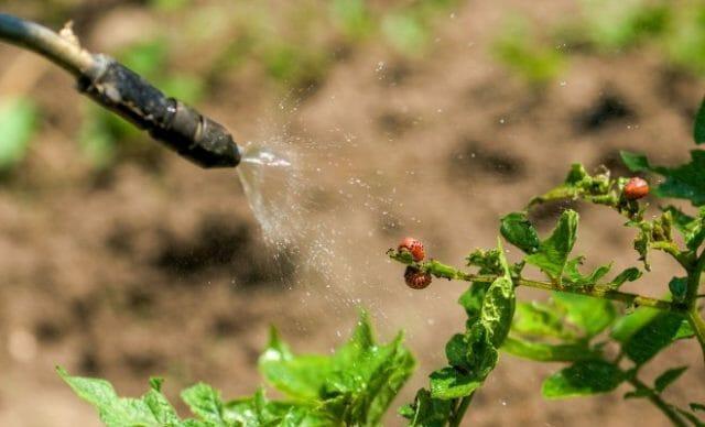опрыскивание жука