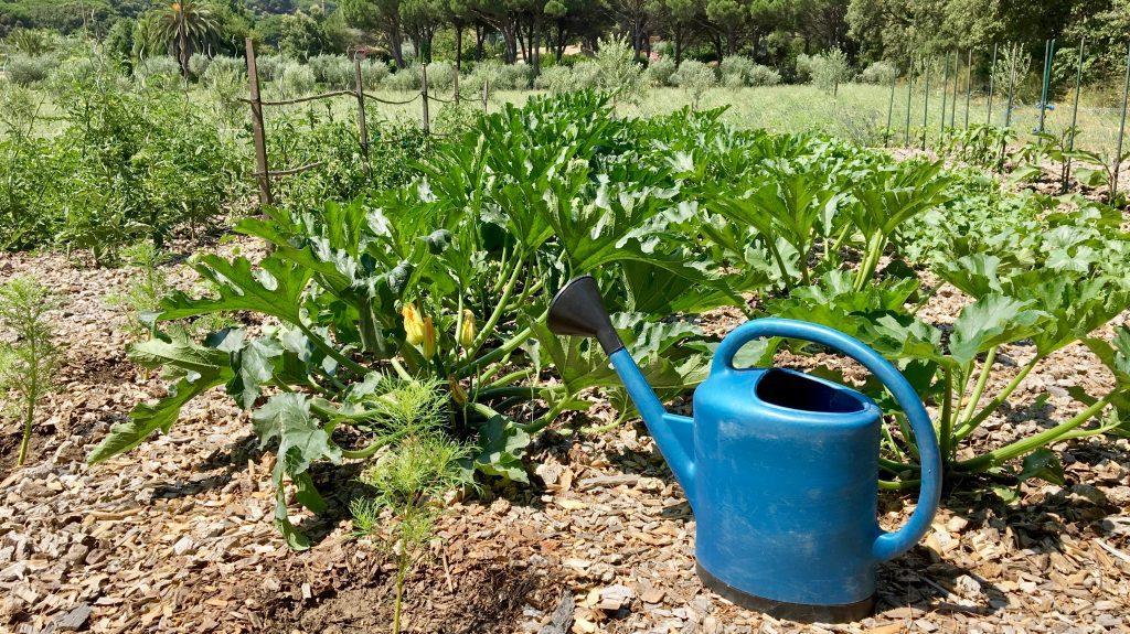 полив кабачков