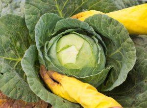Нужно ли у капусты обрывать нижние листья, когда и как правильно удалять