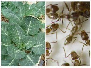 Что делать, если муравьи едят капусту, и какими способами лучше избавиться