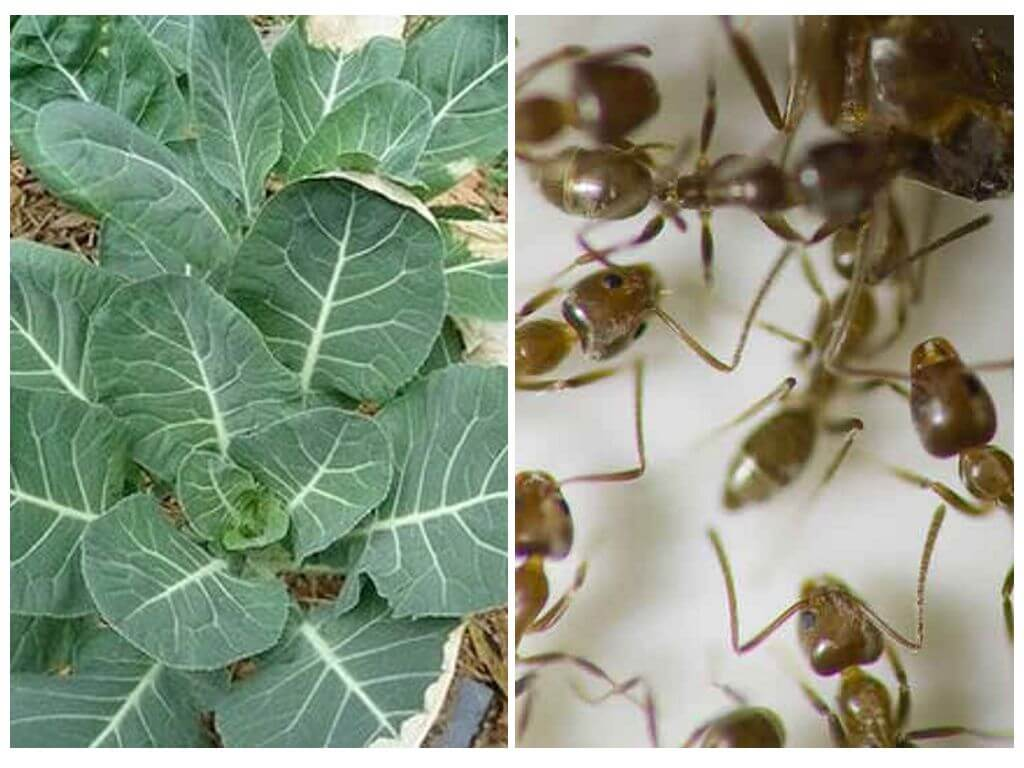 муравьи на капусте