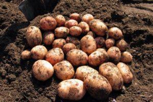 Описание и характеристики сорта картофеля Аврора, правила посадки и ухода