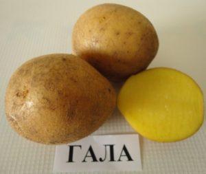 Описание и характеристика сорта картофеля Гала, правила посадки и ухода