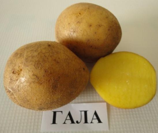 картошка гала