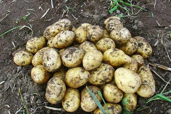много картофеля