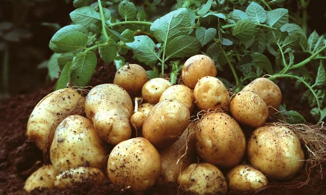 картофель лилея