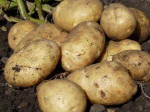 Описание и характеристика сорта картофеля Санте, правила посадки и уход