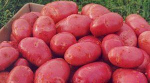 Описание и характеристика сорта картофеля Ред Скарлет, посадка и уход