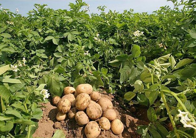 созревшая картошка