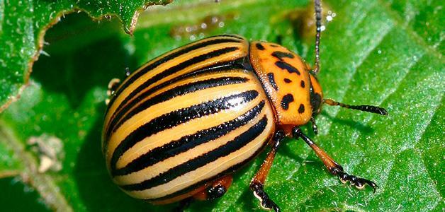 вредитель колорадский жук