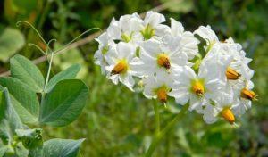 Нужно ли во время цветения обрывать цветы у картофеля и зачем это делать