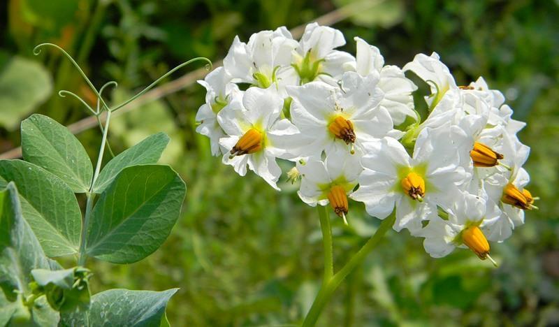цветение картошки нужно ли обрабатывать