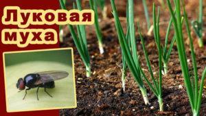 Как бороться с луковой мухой народными и химическими средствами