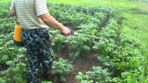 Особенности обработки картофеля перед посадкой от колорадского жука