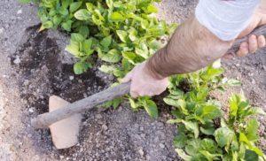 Зачем и когда делать окучивание картофеля, правила выполнения и сроки