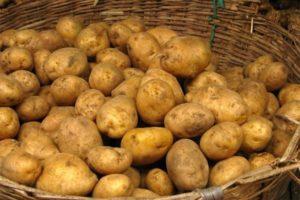 Характеристика и описание картофеля сорта Адретта, посадка и уход