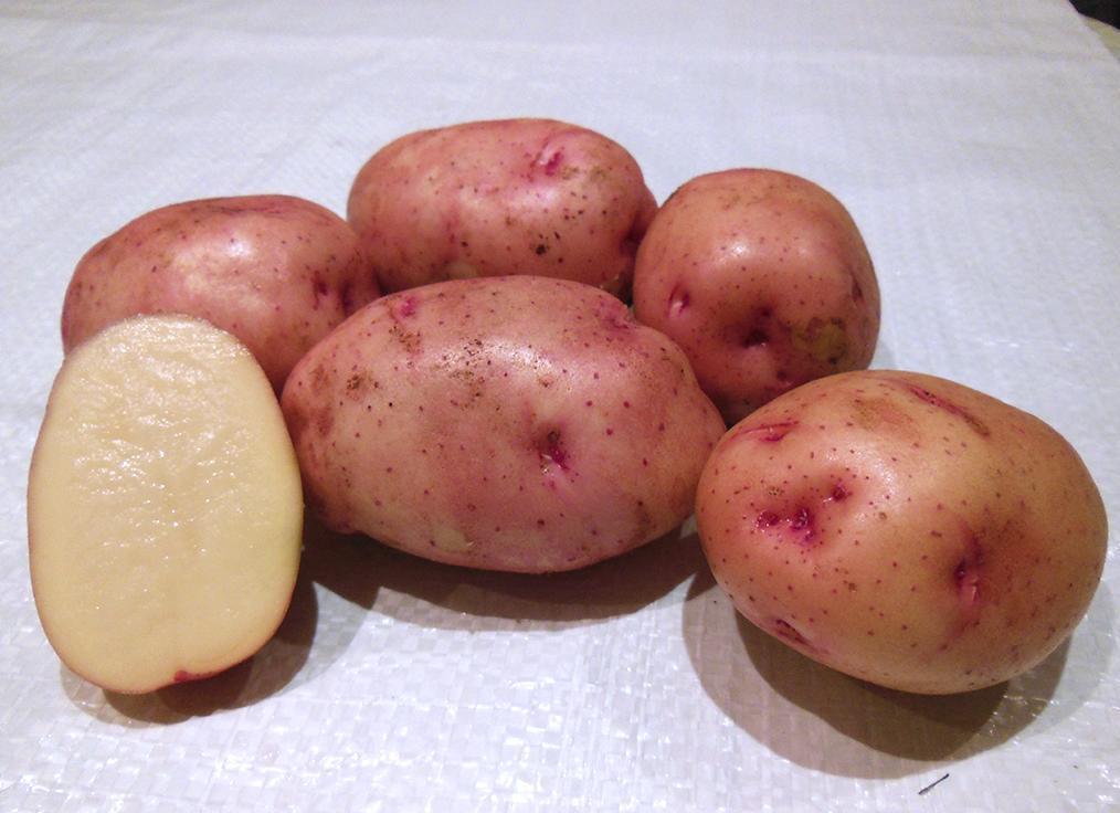 картофель жуковский