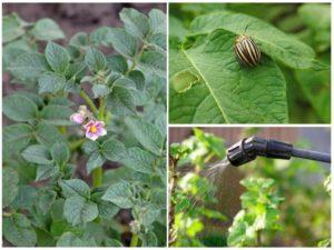 Можно ли опрыскивать картофель во время цветения от колорадского жука