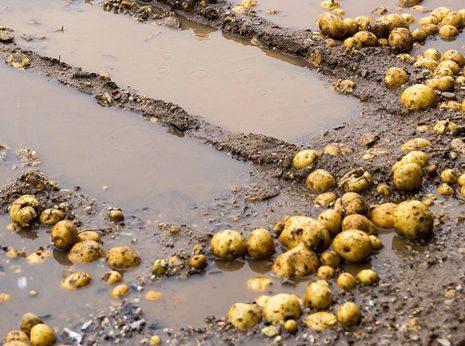 как спасти картофель в дождливое лето