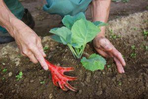 Когда и зачем окучивать капусту, сроки и количество процедур, нужно ли после высадки в грунт