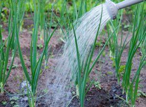 Как часто нужно поливать лук в открытом грунте и нормы расхода воды