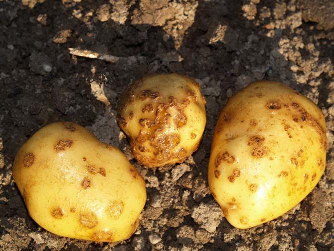 больная картошка