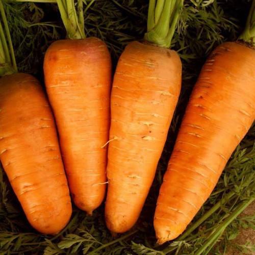 морковь Болтекс